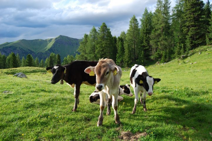Which is the cutest cow of all…