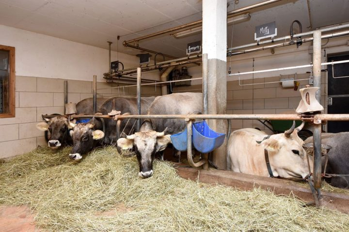 Stroll and cow-milking at the farmhouse